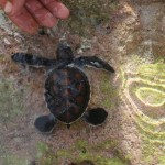 The children are not the only ones swimming in the harbour when it's hot. This baby turtle was brought down each day for his swim