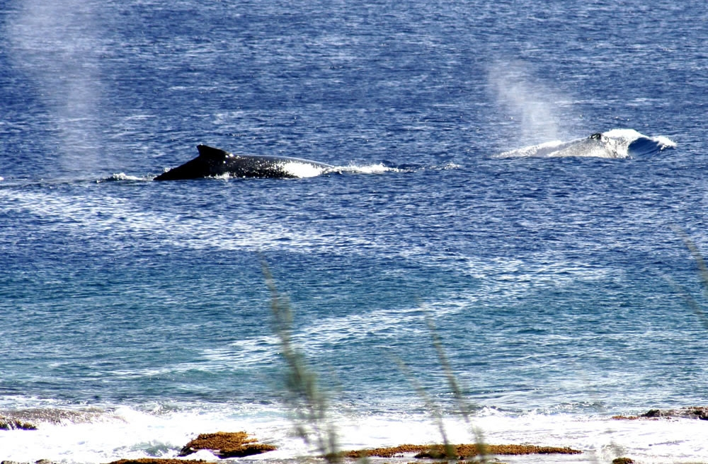 Whales cruising past the viewing platform at O'Kiva