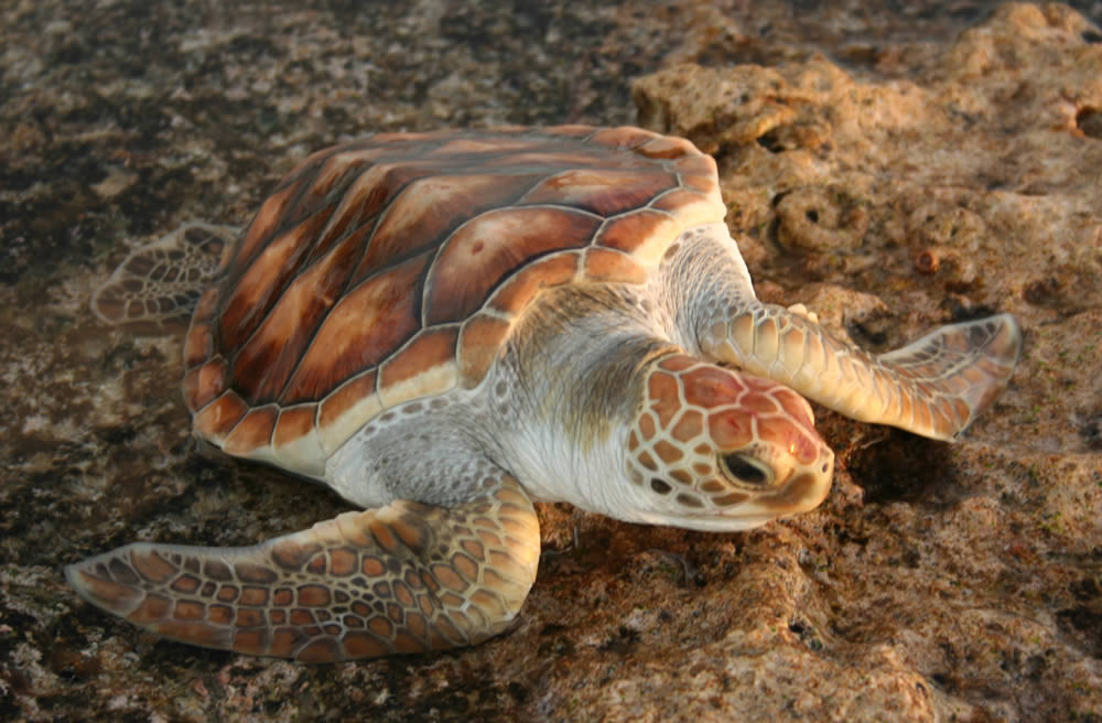 Saddleback Turtle | Mauke  | South Pacific
