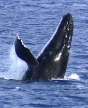 Whale Breaching alongside Mauke airport