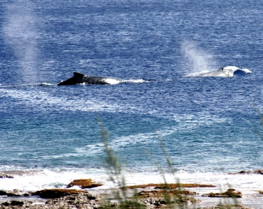 Whales cruising past the viewing platform at O Kiva