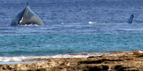 Whale close to the reef at O Kiva lookout